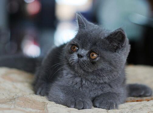 宠物猫之加菲猫(异国短毛猫)品种介绍