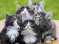 挪威森林猫的遗传病