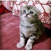 专业繁殖纯种猫 加菲猫,波斯猫,,英国短毛猫