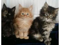 纯种美血缅因猫幼崽出售!