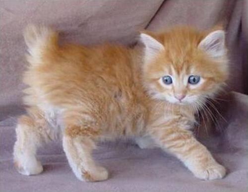美国短尾猫图片