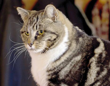 公猫绝育后需要打消炎针吗