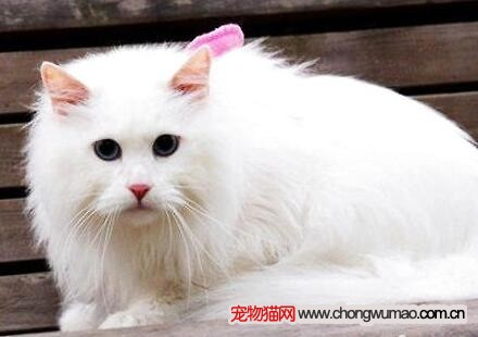 安哥拉猫与家猫区别图片