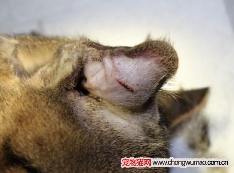 猫咪耳血肿治疗价格图片