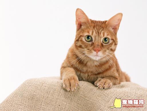 猫膀胱结石图片