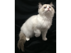"CFA注册猫舍""Ultra Cats""在出售布偶妹妹和弟弟"