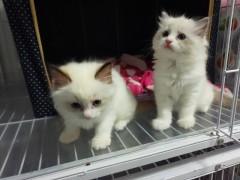 海豹双色布偶猫