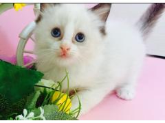 绝对进口血统,纯种布偶猫出售