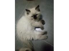 自家繁育小布偶猫 2只(1公1母)