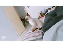 小暹罗猫  因个人原因 找个好主人 便宜转手