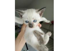 暹罗小猫找主人