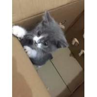 福州市,三个月的英短蓝白猫,无力抚养因此售出