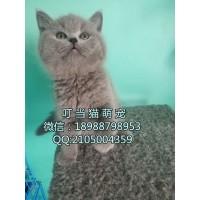 深圳哪里有卖纯种英短蓝猫深圳纯种英短蓝猫哪里有卖