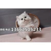 深圳哪里有卖金吉拉猫  深圳金吉拉猫一只多少钱