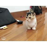 家养猫舍 矮脚小短腿银渐层蓝猫蓝白英短