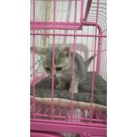 惠州卖一条英短串虎斑 灰色母猫