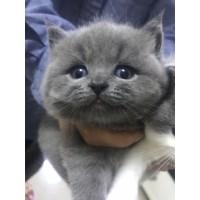 家养纯种英短小蓝猫找新家啦