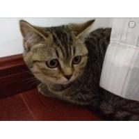 两个多月大的虎斑猫猫咪实在急需出售