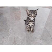可爱到心软的美短猫