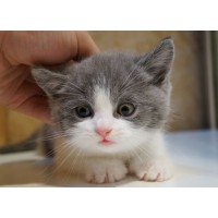 上海家养英短蓝白1000一只 价格实惠欢迎上门看猫