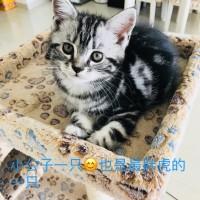 美短猫(1公2母)