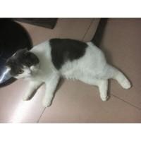 折耳蓝白公猫一岁半自养求转手,深圳同城交易,不回访