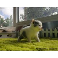 CFA注册猫舍常年繁殖英短美短渐层批发优惠
