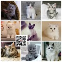 深圳本地宠物猫舍自己养的英国短毛猫美短布偶猫加菲猫健康