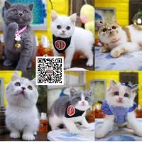 广州本地猫舍繁殖英国短毛猫布偶猫美短加菲猫健康可靠