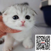 东莞本地实体猫舍科学繁殖出售布偶猫英短美短猫加菲猫健康包疫苗