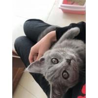 蓝猫家养,3个月大