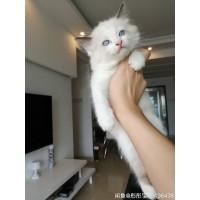 自家猫咪生了布偶猫纯种(海豹双色基因)