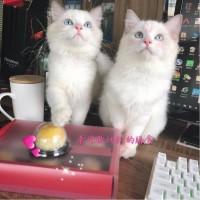 深圳自家猫咪生了布偶猫纯种(海豹双色基因)