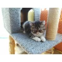 自家繁育加菲猫