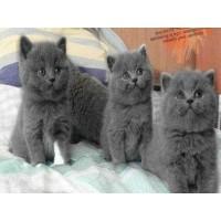 出售纯种英短蓝猫,蓝加白,乳白,美短起司