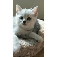 两个月大银渐层小猫咪寻找主人啦!