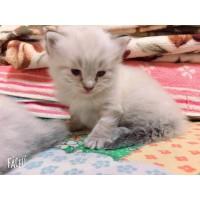 一个月大布偶猫