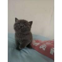 家庭繁育-纯种英短蓝猫