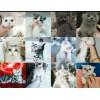自家猫馆繁殖各种英短蓝猫蓝白渐层美短虎斑起司