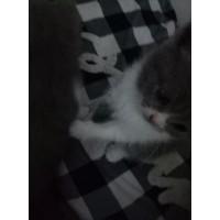 英国短毛蓝白猫,猫妈咪自己养的。
