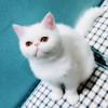 出售家养加菲猫