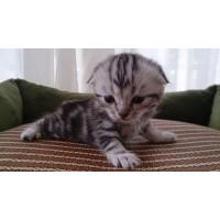 出售精品美短虎斑宠物猫