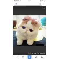 出售3个月家养加菲猫