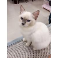 宠物级布偶猫急售