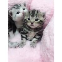 美短宠物猫