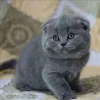 出售英短蓝猫 蓝白 乳白 渐层猫猫,包纯种可签协议