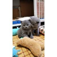 自己繁殖,包子脸,健康,活泼,可上门看猫,遇见就是缘