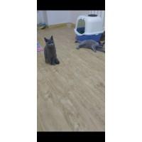英短蓝猫(公母两只仅售2000)
