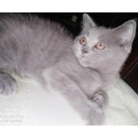 出售自家养蓝猫