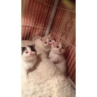 加菲猫,自己家养,有公有母,包健康